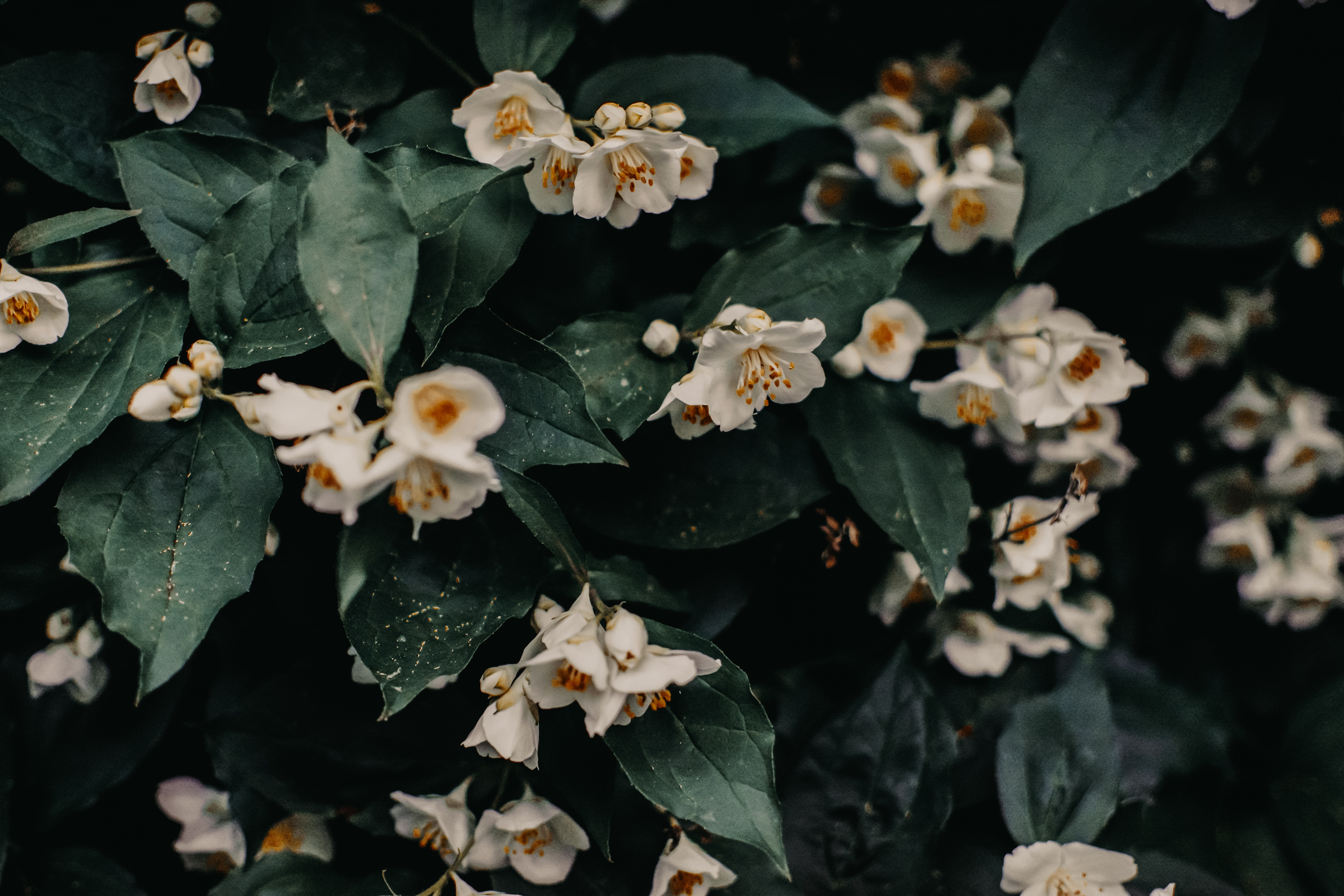 a photo of white flowers with dark green leaves, in moody lighting